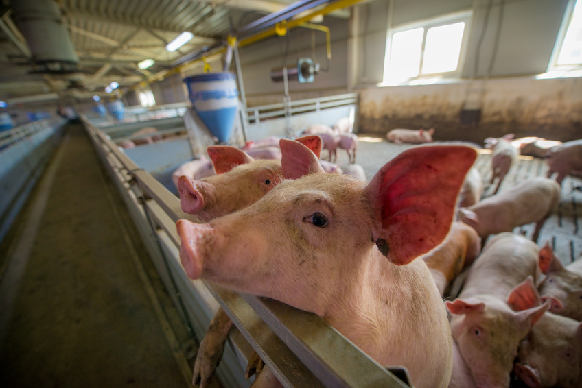 Kożuch na gnojowicy – Stosowanie Penergetic-g