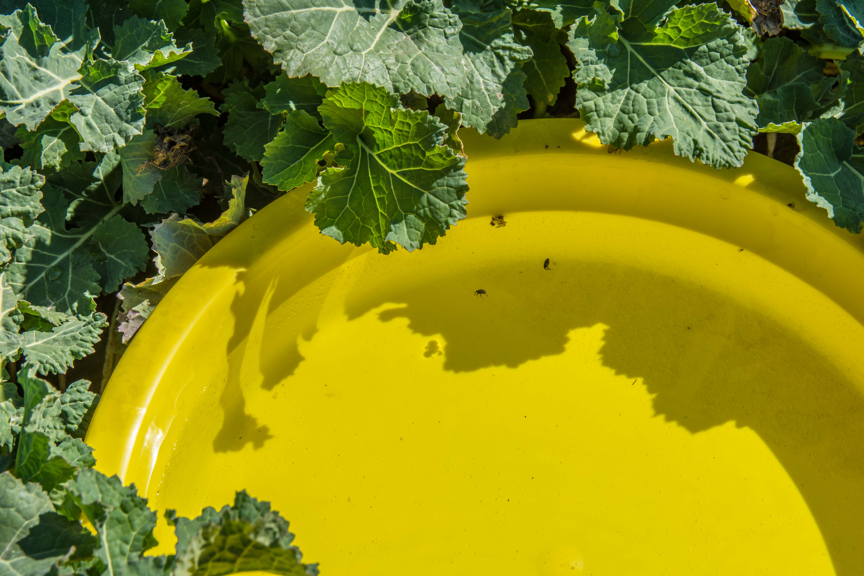 Żółte naczynia w rzepaku