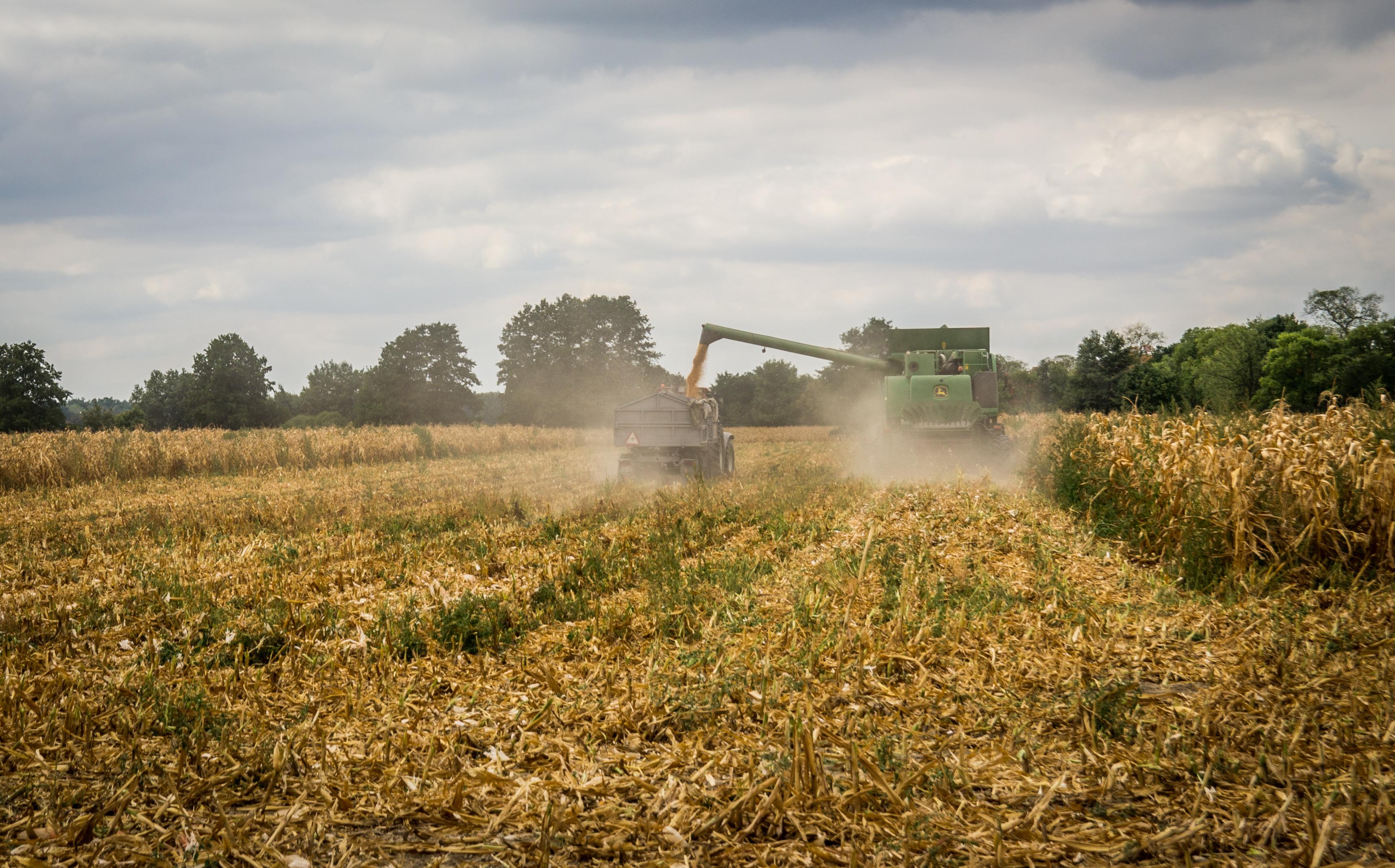 Słoma kukurydzy